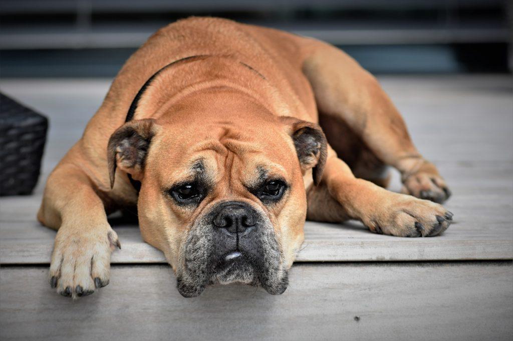 dog, animal testing, microfluidics