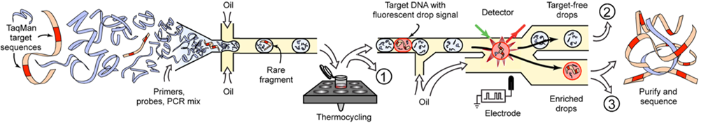 Figure 1: The work done by Eastburn et al. - Droplet based microfluidic system for target gene enrichment. The workflow shows the encapsulation of the target gene and at the end sorted and separated from other droplets. Credit: NCBI