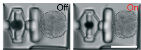 Figure 3. Compression of a spheroid of cells. Scale bar: 100μm.8