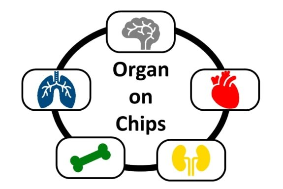Schematic of an organ on a chip