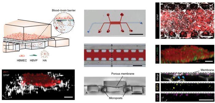 Blood-barrier microchip