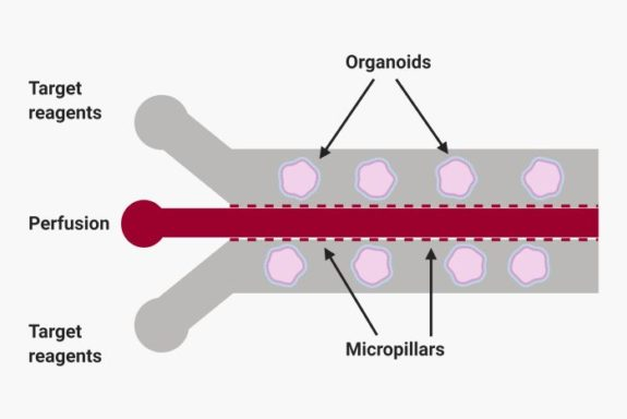 microfluidic chip for organoid synthesis