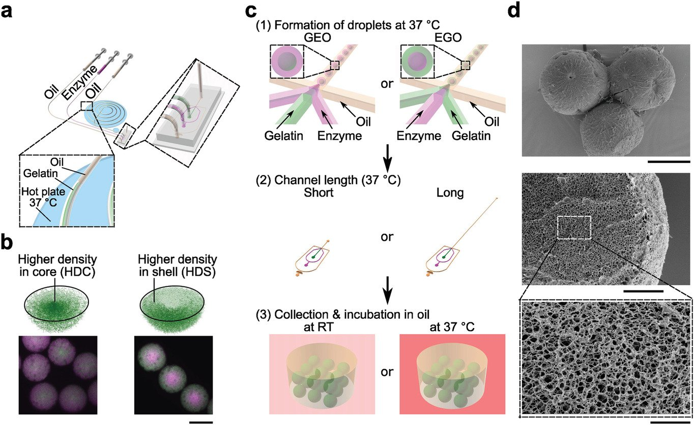 Droplet microfluidic platform for generating inhomogeneous protein microgels