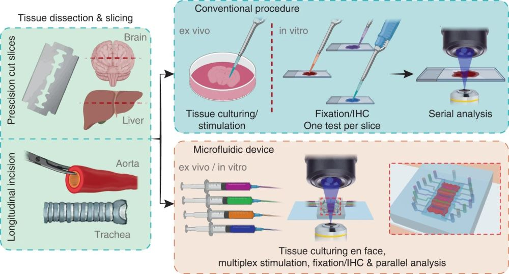 Schematic of microfluidic assays for ex vivo culture of tissue slices